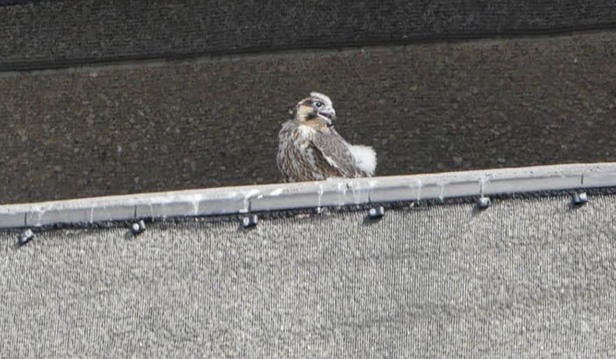 Baby peregrine on London Met's Tower Building